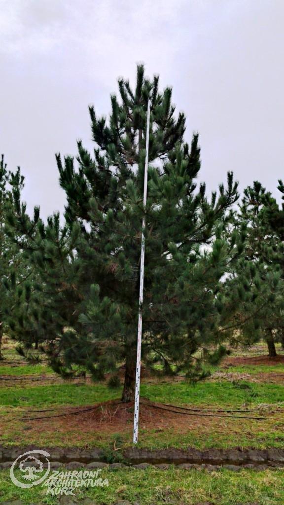 Pinus nigra 300-400x500-600